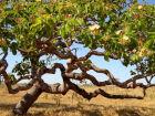 Árvore produz, em média, quinhentos a três mil frutos (Foto: Marcelo Kuhlmann/Frutos Atrativos do Cerrado)