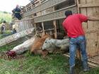 Carreta tomba com gado e interdita parte da BR-267 em Porto Murtinho