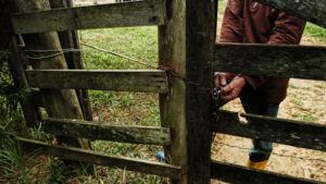 Pecuarista denuncia furto de gado na Linha Carajá em Vicentina