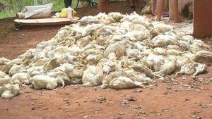GLÓRIA DE DOURADOS: Prejuízo de mais de mil frangos é causado por carreta que derrubou rede elétrica