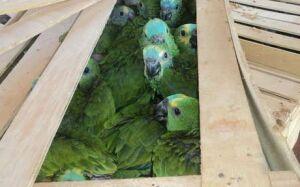 Polícia Rodoviária apreende 153 filhotes de papagaios no MS