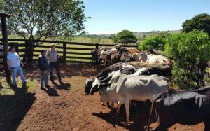 SIG de Caarapó apreende mais 23 cabeças de gado e 3 bezerros em VICENTINA