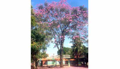 Ipês da praça Getulio Vargas encantam moradores de Fátima do Sul