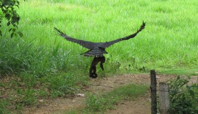 Harpia, maior águia do país é flagrada caçando macaco em atrativo de Bodoquena MS