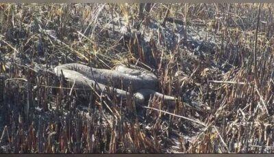 Sucuri de 5 metros não resiste a incêndios florestais em MS