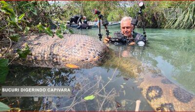 Sucuri 'barriga cheia' é flagrada por empresário em rio de águas cristalinas em Bonito (MS)