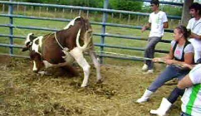 Vaca brava interdita MS-276 e danifica duas viaturas da Polícia Militar Rodoviária