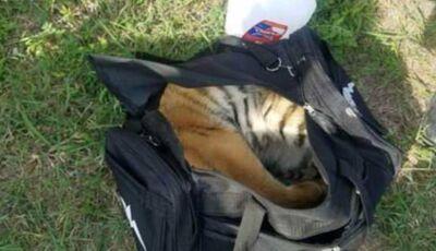 Tigre filhote é encontrado dentro de mochila abandonada