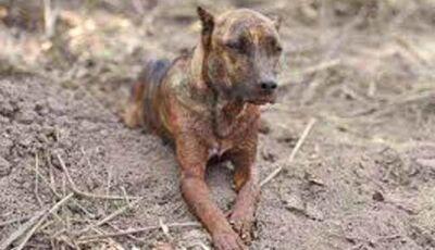 Cachorro faz vigília pelos donos em Brumadinho e comove a internet