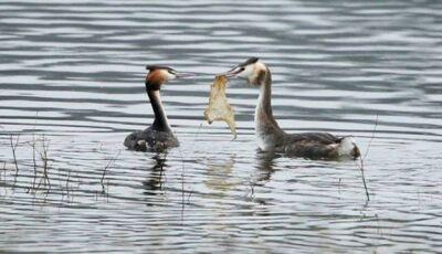 Pássaro corteja fêmea com 'presente' de plástico
