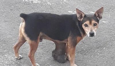 Jovem faz campanha para pagar cirurgia de cachorro que vive com tumor 'gigante'
