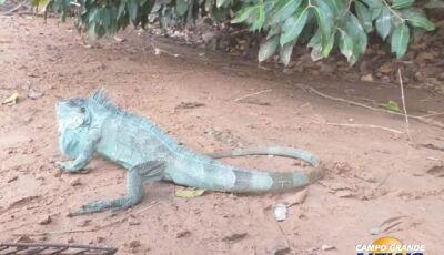 Moradora 'dá de cara' com iguana e chama PMA para evitar 'briga' com cachorro