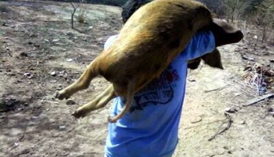 Porcos são furtados de Propriedade Rural em Deodápolis