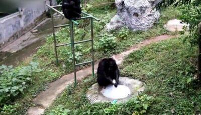 Chimpanzé aprende a lavar roupa da tratadora em zoo chinês