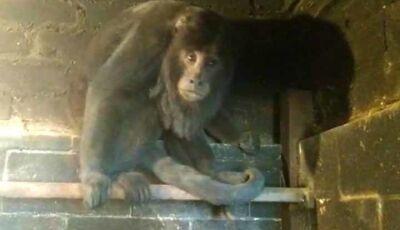 Macaco bugio é encontrado escondido dentro de churrasqueira em Campo Grande; VÍDEO