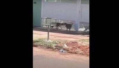 VÍDEO: pitbulls soltos na rua tacam terror em vizinhança no Itamaracá