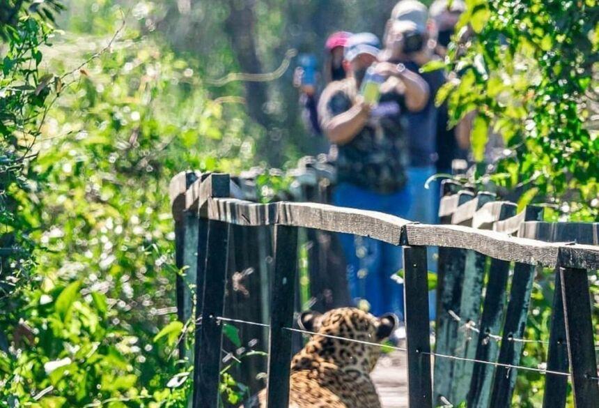 Turistas 'dão de cara' com onça-pintada descansando em passarela de madeira em MS  Foto: Edir Alves/Foto