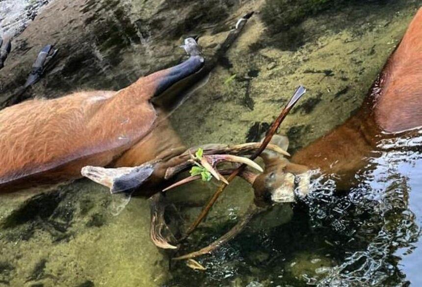 Corpos de cervos boiando no Rio Salobra, no Pantanal de MS, no último sábado (3)  Foto: Gerson Prata/Arquivo Pessoal