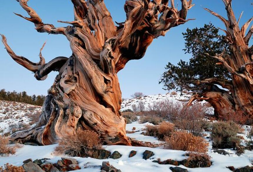 Dia da Árvore: floresta na Califórnia tem as mais antigas árvores do planeta Foto: Rick Goldwaser / Wikimedia
