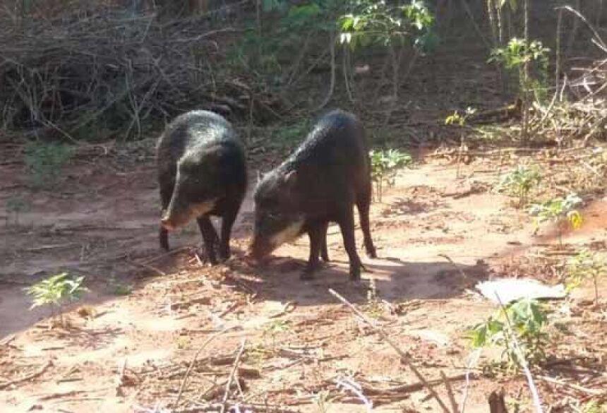 Porcos queixadas foram visto no quintal de uma casa, localizada na esquina das Ruas São José e Batayporã - Foto: Divulgação/PMA