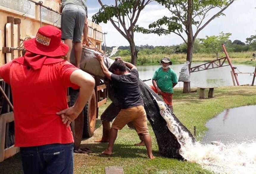 Pesqueiro 7 Bello recebe 4 tonelada de tilápia e serve almoço neste domingo em VICENTINA