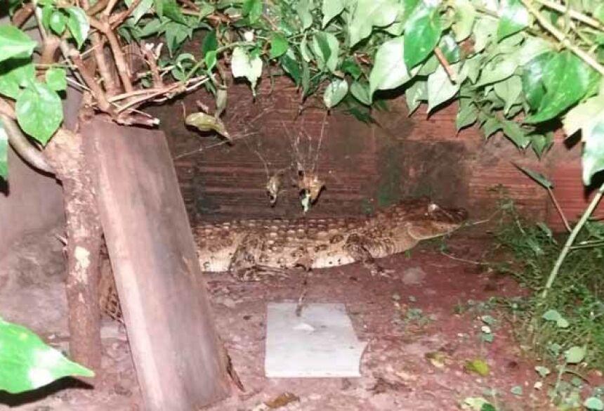 Jacaré no quintal da residência — Foto: PMA/Divulgação