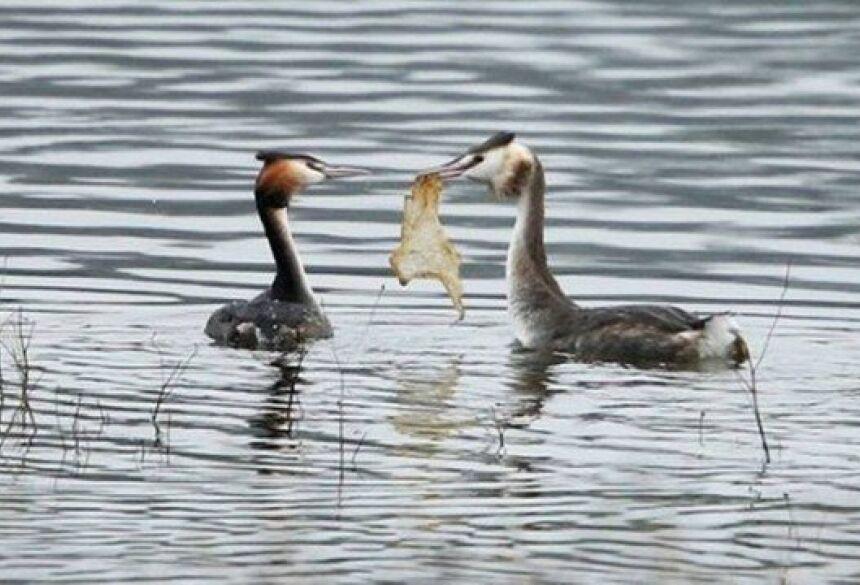 Pássaro corteja fêmea com pedaço de saco plástico abandonado em lago Foto: Reprodução/Facebook(Derbyshire Wildlife Trust)