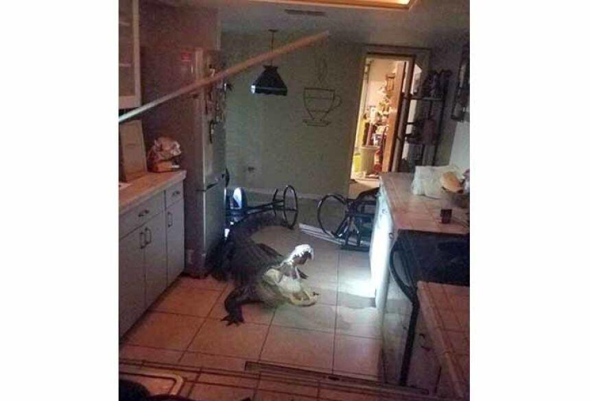 O jacaré na cozinha de residência na Flórida Foto: Divulgação/Clearwater Police Dept.