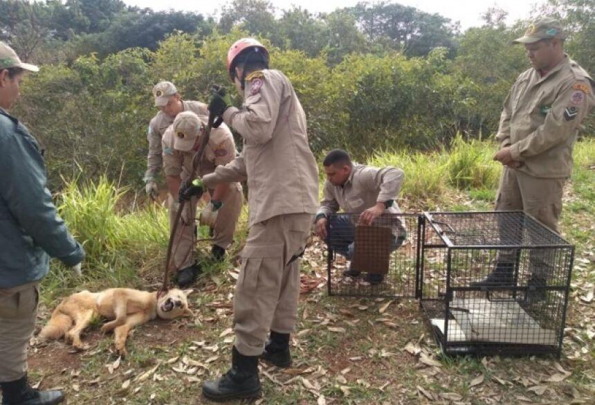 Cachorro no momento do resgate; ele resistiu entrar na gaiola (Foto: Mirian Machado)