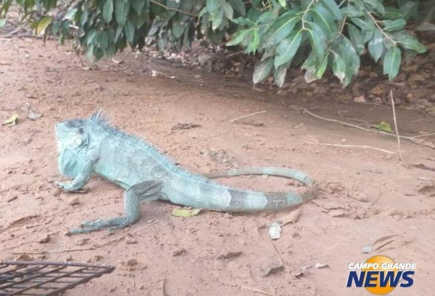 Réptil foi capturado e solto em área longe da cidade. (Foto: PMA)