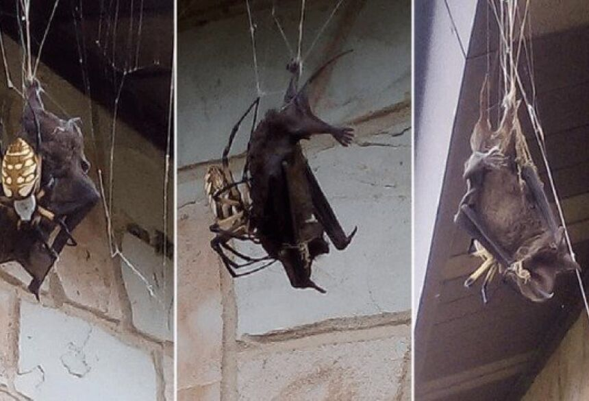 Morcego capturado em teia de aranha Foto: Reprodução/Facebook(Annette Alaniz Guajardo)