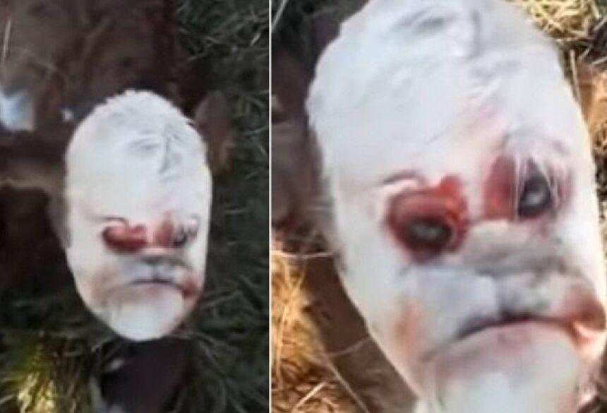 Bezerro mutante na Argentina: 'face humana' Foto: Reprodução/YouTube