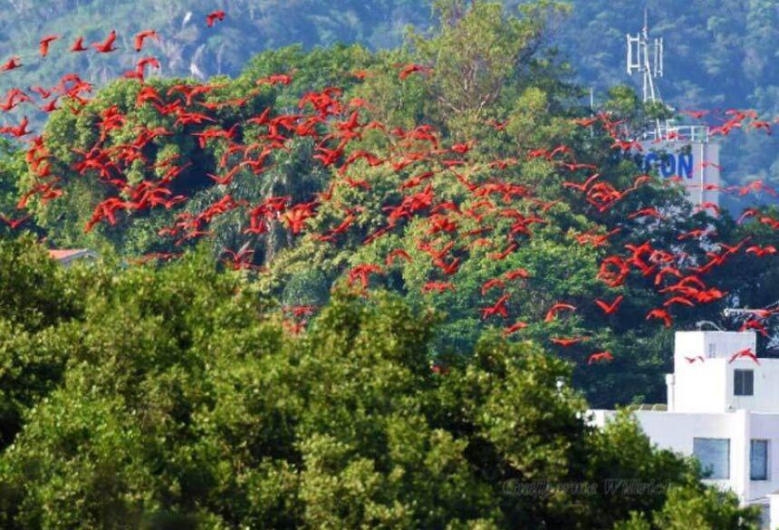 Flamingos vistos em Florianópolis - Foto: divulgação / Fernando Farias