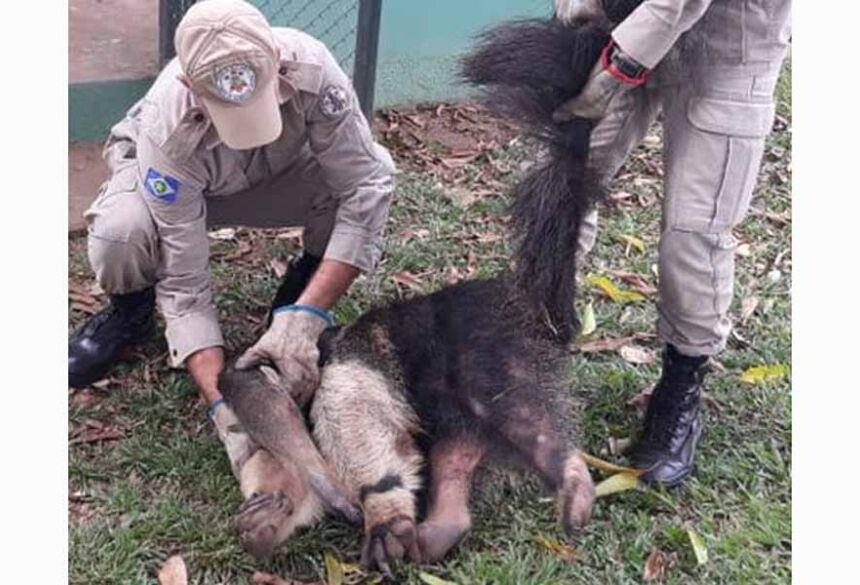 o Tamanduá foi solto em uma mata, distante da cidade, no seu verdadeiro habitat natural. Imagem Ilustrativa