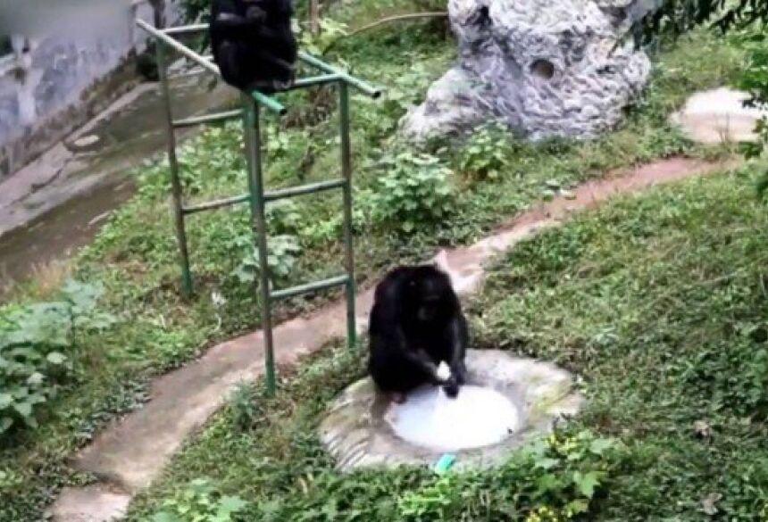 Chimpanzé lava roupa de tratadora na China Foto: Reprodução/Twitter(People's Daily, China)