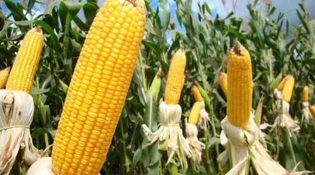 Safra de milho neste ano é recorde em Mato Grosso do Sul (foto Liana Feitosa)