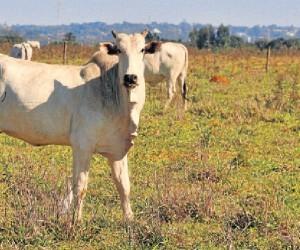 Responsável por 45% dos abates, crise da JBS fez com que gado permanecesse no pasto - Valdenir Rezende/Correio do Estado