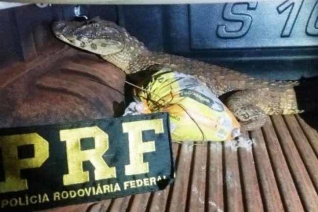 Morador de Itaquiraí disse aos policiais que teria capturado o animal às margens de uma estrada vicinal - Foto: Divulgação/PMA